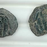 Image for Wannweia Trilobite natural Fossil Pair 45.42 tcw.